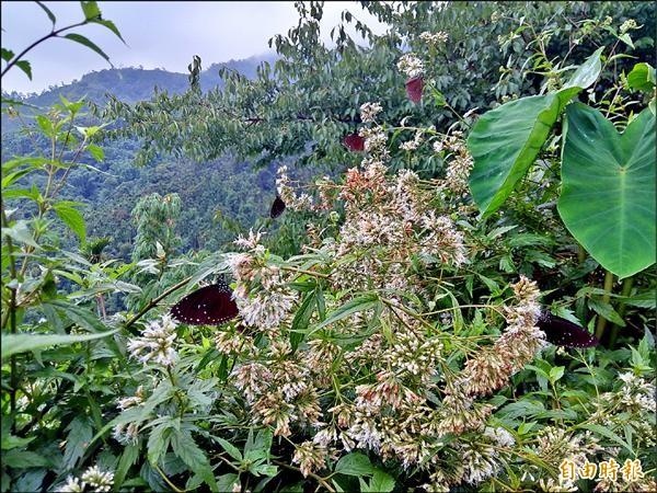 西拉雅山區種植的蝴蝶蜜源植物,吸引大批紫斑蝶駐足,不少遊客在登山步道看見蝶舞盛況,驚喜不已。(記者王涵平攝)