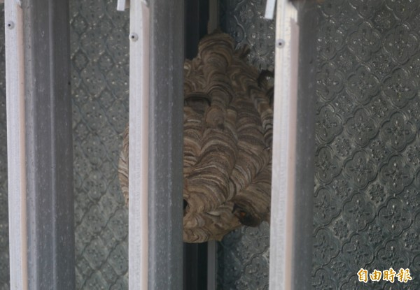 約籃球般大小的虎頭蜂巢就藏於秀林鄉公所窗戶邊,許多蜂隻在外流竄飛舞,更有狂蜂誤闖辦公室,嚇得女課員們花容失色。(記者王峻祺攝)