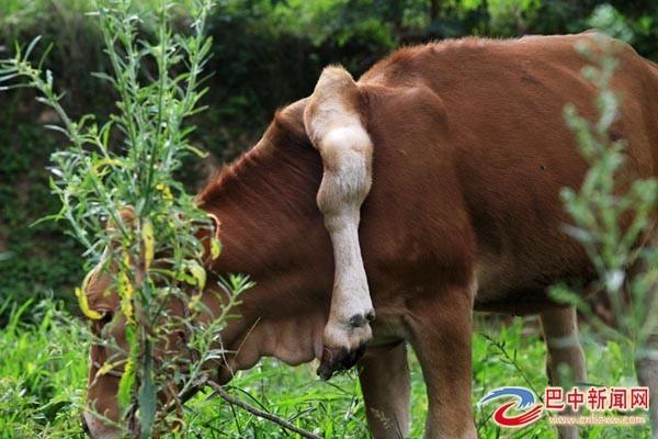 中國四川省八中市南江縣有一頭小有名氣的明星牛,因牠除了原有的四隻腳外,其左肩胛骨附近又長出第五隻!(圖取自巴中新聞網)