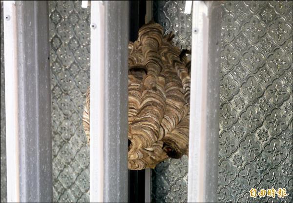 約籃球般大小的虎頭蜂巢就藏於秀林鄉公所窗戶邊。(記者王峻祺攝)