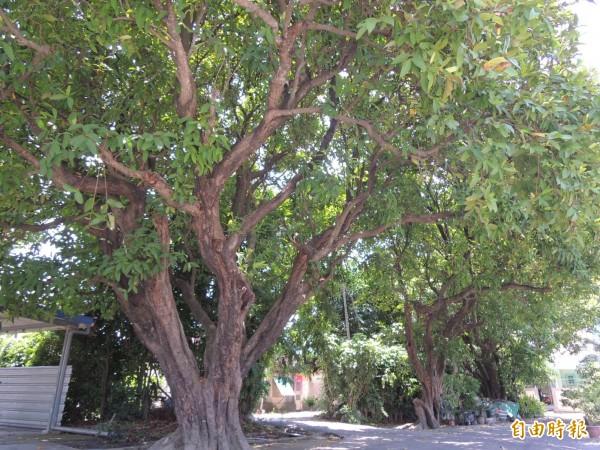 新市區公所將為百年樹齡以上的原生種白蓮霧樹、進行復育栽種計畫。(記者林孟婷攝)