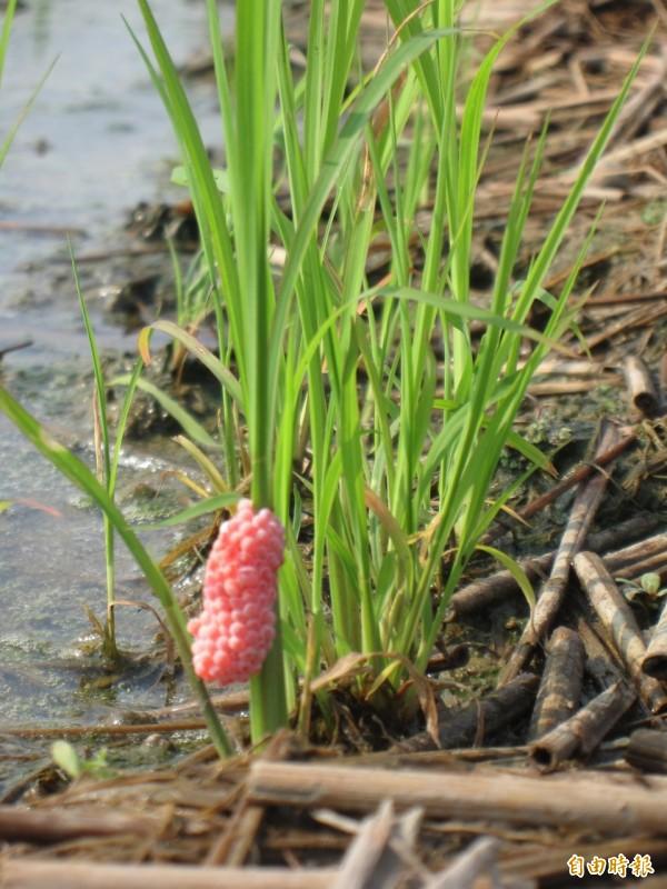 福壽螺喜歡吃幼嫩的植物,加上成長速度快,被視為農業害蟲,急欲去之而後快。(記者黃鐘山攝)