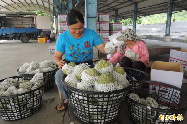 農友忙把釋迦分級裝箱,希望儘快運往台北果菜市場。(記者張存薇攝)