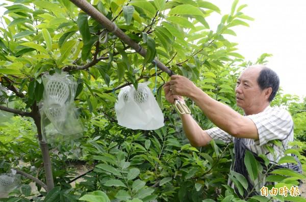 釋迦果農趕緊補強防颱工作,避免一整年的心血泡湯。(記者吳俊鋒攝)