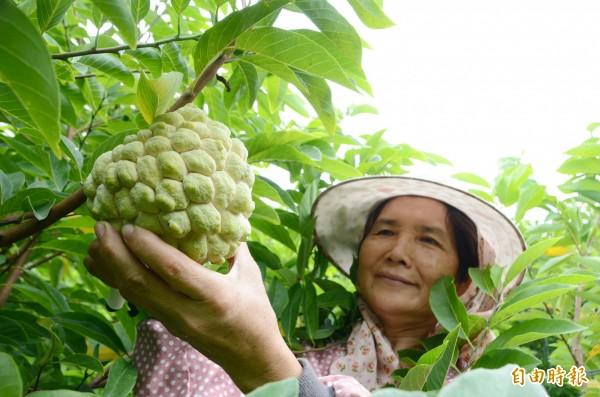 農民巡視釋迦園,可以採收的就趕緊出手,減少颱風災情。(記者吳俊鋒攝)