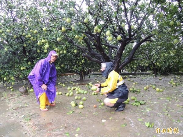 麻豆區長林振祿(右)到柚農王明杞(左)的柚園巡視落果災情。(記者楊金城攝)