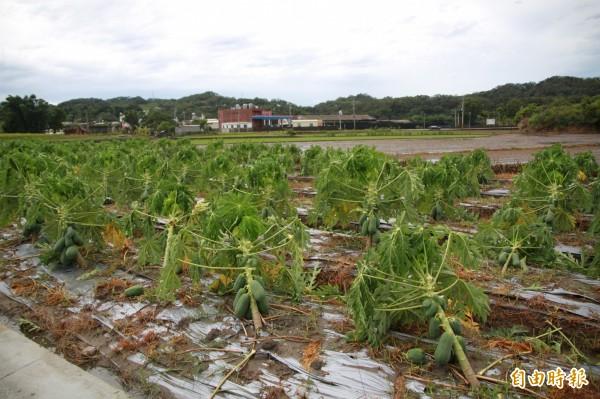 南庄鄉紅妃木瓜採收在即,卻因蘇德勒風災,損失八成。(記者鄭鴻達攝)