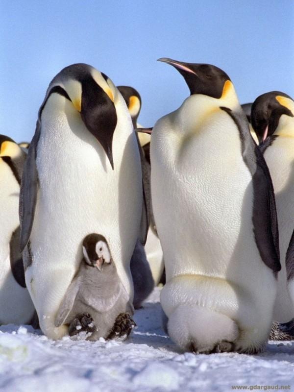 在皇帝企鵝家庭中,企鵝爸爸為了體諒母親懷孕辛苦,將會一肩挑起孵蛋重責。(取自網路)