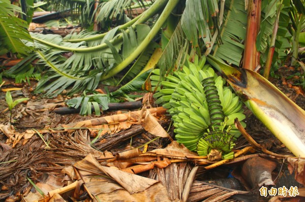 還未成熟的香蕉整串掉到地上。(記者陳祐誠攝)