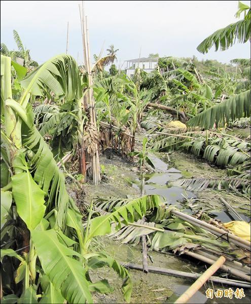 蘇迪勒颱風造成香蕉倒伏,受損面積約五十五公頃。(記者羅欣貞攝)