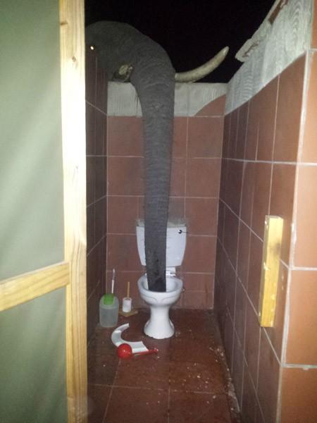非洲波札那東北部有群大象因認為自己的飲用水太鹹,便索性用象鼻翻越廁所圍牆,只為飲用「馬桶水」。(圖擷取自《Africa Geographic》)