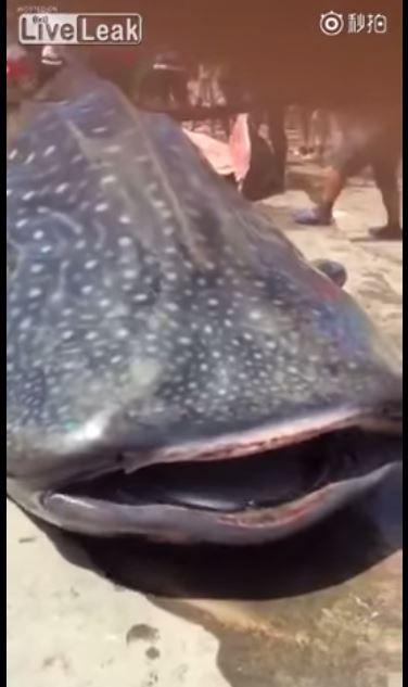 鯨鯊遭到宰殺的影片上傳網路後,引發轉載。(圖擷取自影片)