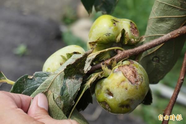 豐原區公老坪的紅柿因風災,果皮嚴重擦傷並導致腐爛。(記者歐素美攝)