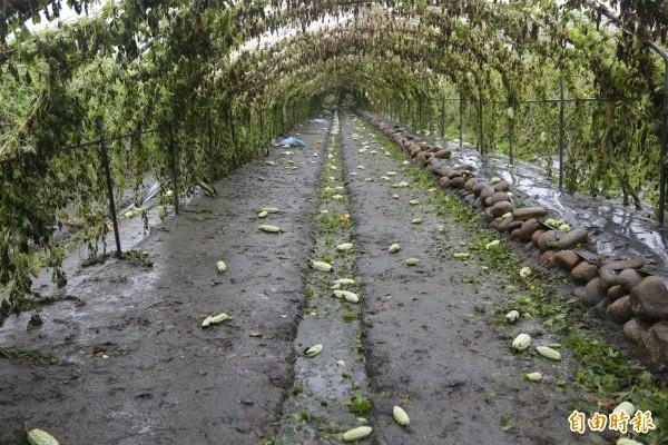 蘇迪勒颱風重創大甲苦瓜,果實掉滿地,瓜農血本無歸。(記者黃鐘山攝)