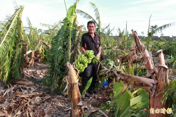 蕉農謝銘卿形容颱風過境,像炸彈炸過一樣,800株香蕉樹全倒,無一倖免。(記者陳冠備攝)