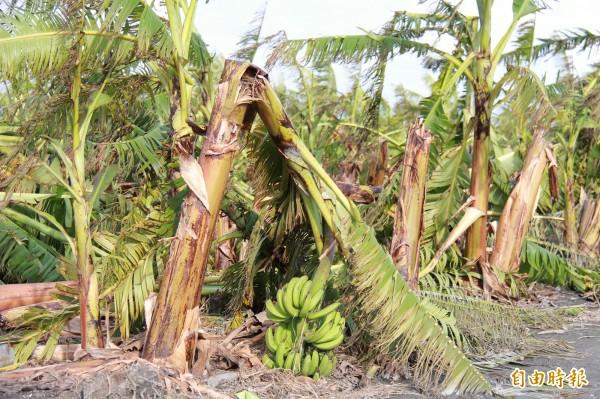 蘇迪勒颱風過境,彰化溪州鄉的香蕉園吹得東倒西歪。(記者陳冠備攝)