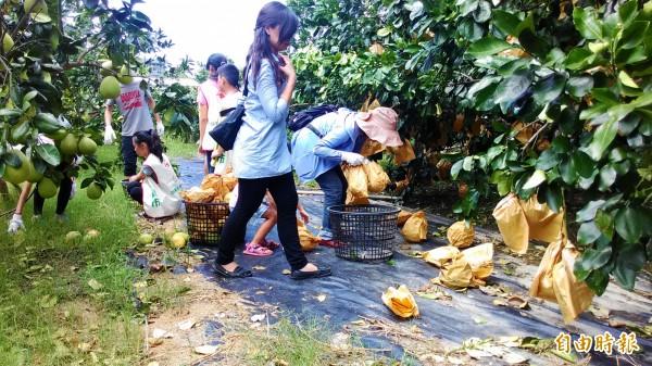 南市四健會公共服務,從採果變成撿拾落果,更深刻體會到農民的辛苦。(記者劉婉君攝)