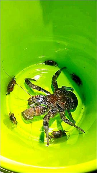 護蟹過程中發現多隻保育類的椰子蟹。(綠島導遊曾靚提供)