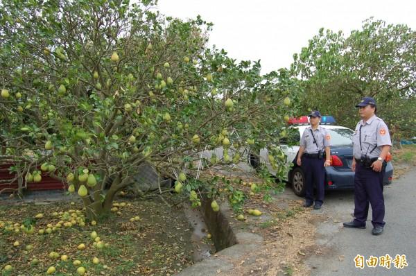 麻豆警分局將在後天(15日)啟動護柚專案,為期一個半月。(記者楊金城攝)