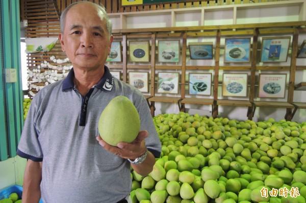 呂明雄說,目前文旦多已達成熟度,柚農可以早一點採收,讓樹早一點休息。(記者劉婉君攝)
