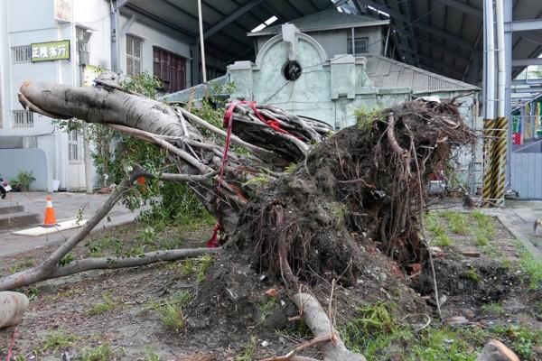 西市場百年老榕樹,在蘇迪勒颱風來襲時傾倒。(晁瑞光提供)