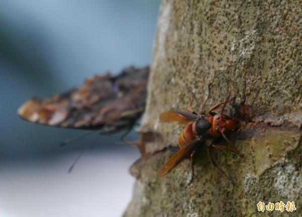 太管處的光臘樹,因風災導致樹皮出現裂痕,吸引長腳蜂及蛺蝶前來覓食。(記者王峻祺攝)