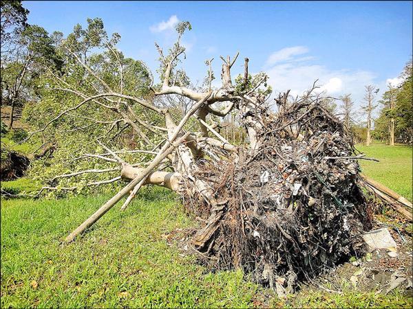 蘇迪勒颱風過後,羅東運動公園不少樹木傾倒,露出根部,竟被民眾發現,地下土壤中充斥著垃圾。(圖由台灣親子共學教育促進會執行秘書陳玫儀提供)