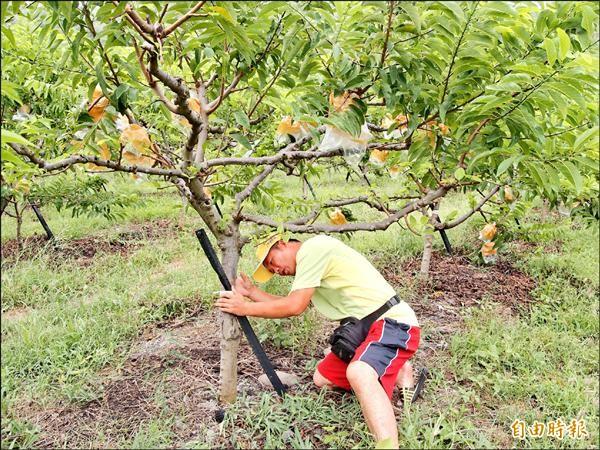 農友防颱,逐株檢視固定釋迦樹的鋼筋和綁繩有無鬆動及破損。(記者陳賢義攝)
