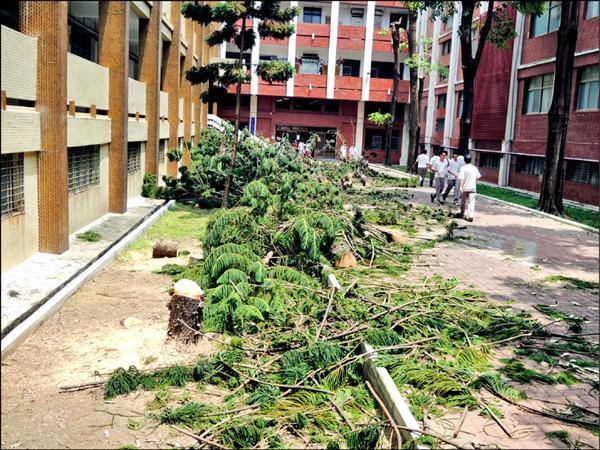南市長榮中學校園十多棵被砍斷的南洋杉枝葉躺在地面上。(記者王俊忠翻攝)