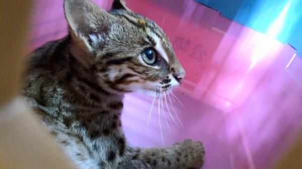 有民眾通報發現受傷貓隻,發現竟然是瀕臨絕種的石虎。(圖片截取自林佳龍臉書)