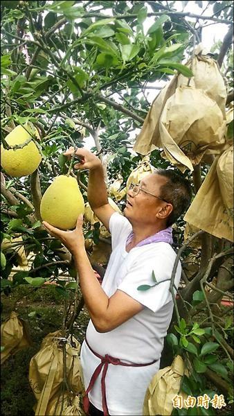 麻豆老王開心農場,9月5、6日兩天開放親子入園採果。(記者劉婉君攝)
