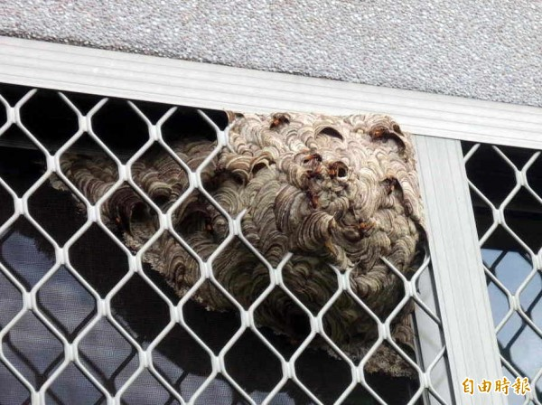 南投縣府名間苗圃辦公室窗戶出現如碗公狀大小的虎頭蜂窩,縣府將作為生態素材。(記者謝介裕攝)