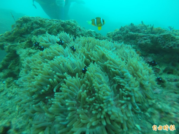 生命力旺盛的「地毯海葵」上,棲息同屬小雀鯛的可愛小丑魚及俗稱「三點白」的三斑圓雀鯛幼魚,不怕生的三點白穿梭在海葵觸手中,逗趣模樣宛如電影《海底總動員》。(記者王峻祺攝)