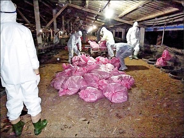 圖為屏縣今年初爆發禽流感,當時執行撲殺作業的畫面。(資料照,屏東縣政府提供)