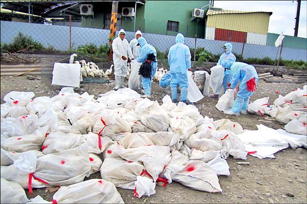 屏東目前累積撲殺土番鴨數量已達1萬9872隻。(屏東縣政府提供)