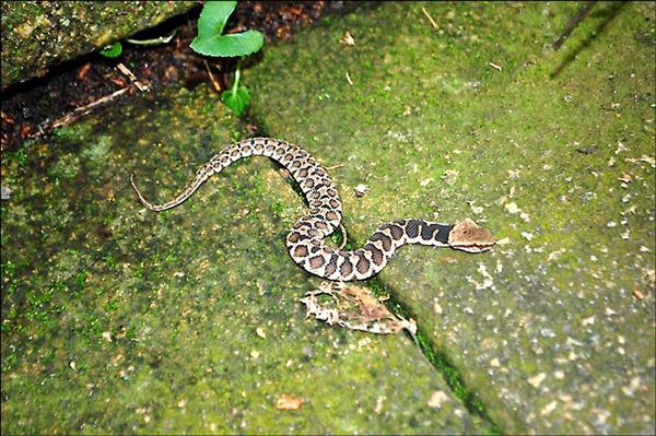 民眾在日月潭慈恩塔步道發現既像百步蛇又像龜殼花的怪蛇,經專家鑑定確認是「擬龜殼花」。(民眾提供)