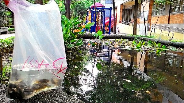 桃園區建德國小在池中養殖蓋斑鬥魚及大肚魚等食蚊魚。(建德國小提供)