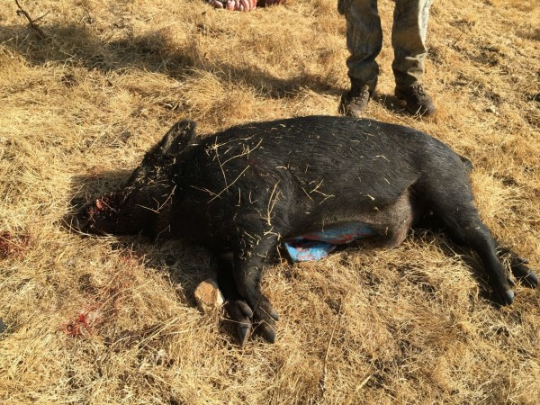 美國加州有民眾獵捕到野豬,但卻發現體內有異樣。(圖片截取自網路)