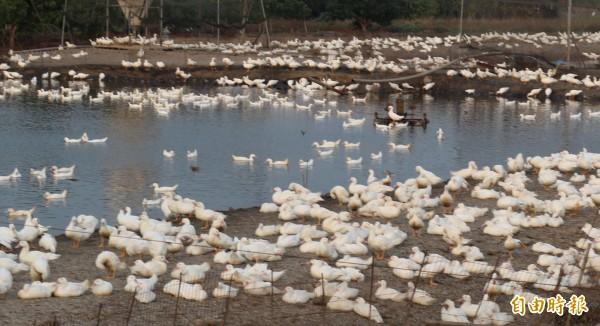 農委會動植物防檢局今天公布,雲林縣斗南市2肉鴨場確診染新型H5N2禽流感,總數8900隻將全數予以撲殺。(資料照,記者詹士弘攝)