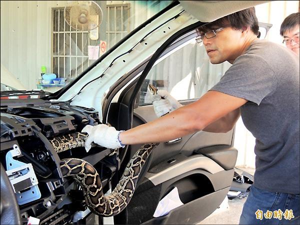 金門曾發生緬甸蟒躲進車體的案例。(記者吳正庭攝)