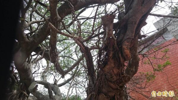 隘口伯公榕樹部分枝幹已乾枯腐朽。(記者廖雪茹攝)