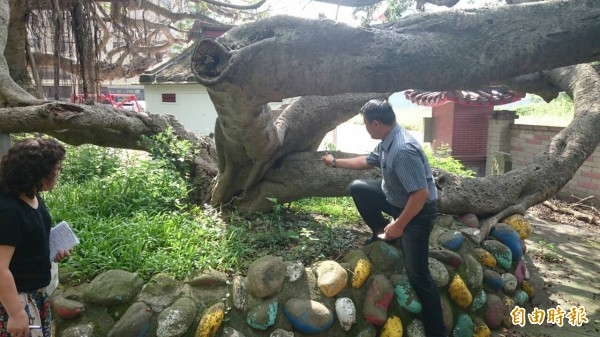 樹醫李碧峰現勘表示,圈圍榕樹的石頭墩和水泥鋪面,妨礙老樹呼吸、排水不良,且部分枝條乾枯腐朽,已產生白蟻,須儘快治療。(記者廖雪茹攝)