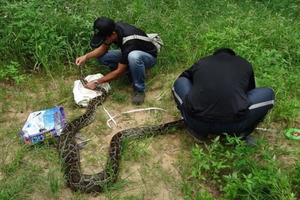 台師大生命科學系副教授林思民率同研究團隊,調查研究金門緬甸蟒蛇3年。(中央社)