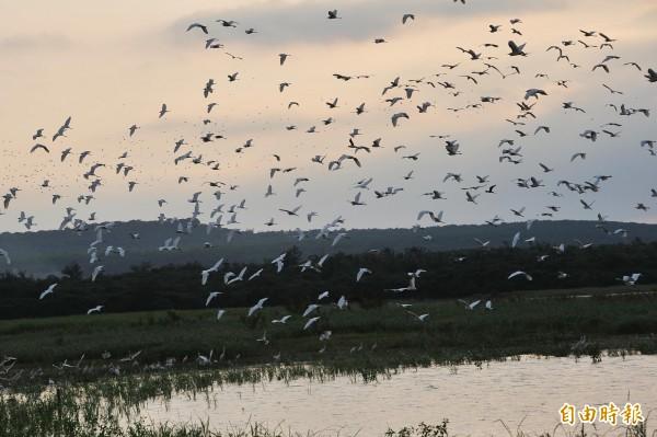 墾丁白鷺鷥創下今年最大數量。(記者蔡宗憲攝)