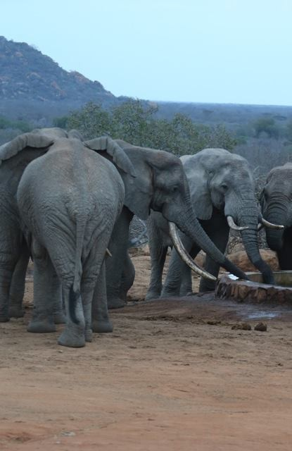 庇護所內人員表示,大象其實有很好的空間推理概念,不僅能在自己的生活領域內來去自如、不會迷路,也沒有忘記哪些地方是安全的。(圖擷自The Dodo)