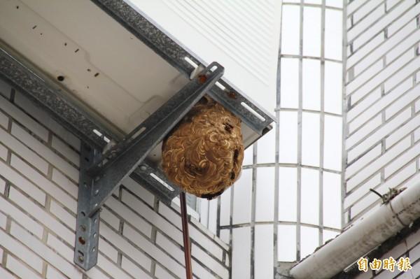 埔里鎮代會3樓冷氣機台下方有個排球大小的虎頭蜂窩,影響附近公務機關及住戶安全。(記者佟振國攝)