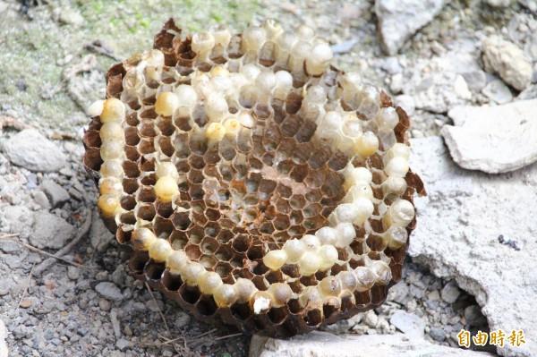 遭火攻剷除掉落的虎頭蜂窩,裡面藏著大批蜂蛹。(記者佟振國攝)