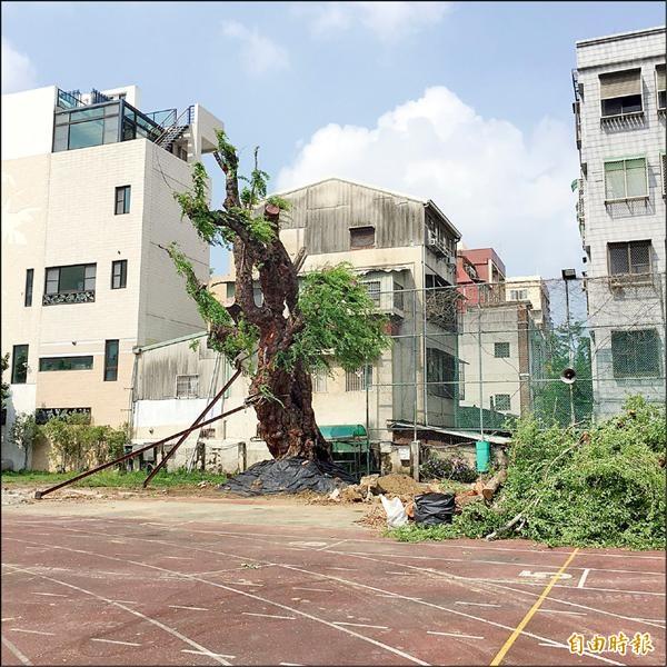台南女中「丁窈窕樹」在風災後,重新在校園立起,師生興奮不已。(記者黃文鍠攝)