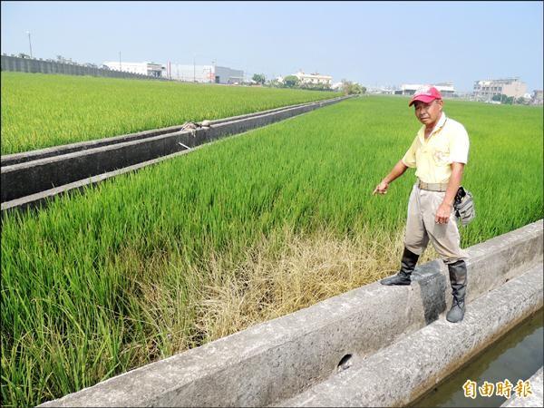 是誰這麼惡毒!?苑裡鎮新復里農田遭廢水污染,稻葉枯萎成一片。(記者蔡政珉攝)