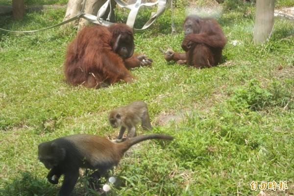 壽山動物園會準備柚子給動物品嚐(記者王榮祥攝)